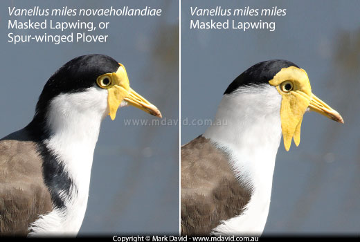 how to tell between male and female plovers
