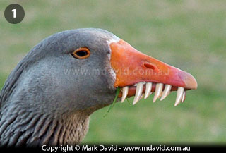 Duck teeth tongue
