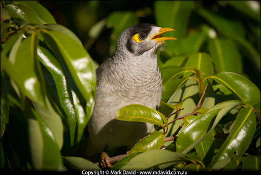 Noisy Miners are native Australian birds and are home to ...