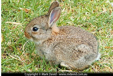 High Quality The Rabbit Can Be Part Feral And Part Introduced