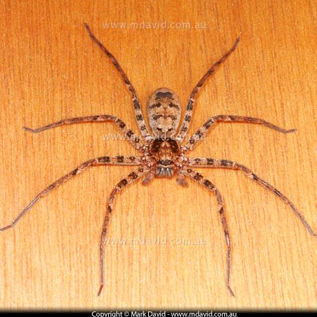 huntsman spider bite. Huntsman Spider