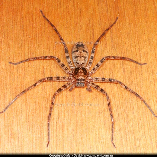 Mark David | Huntsman Spiders